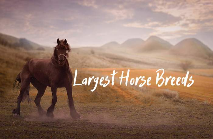 These Are the 8 Largest Horse Breeds in the World