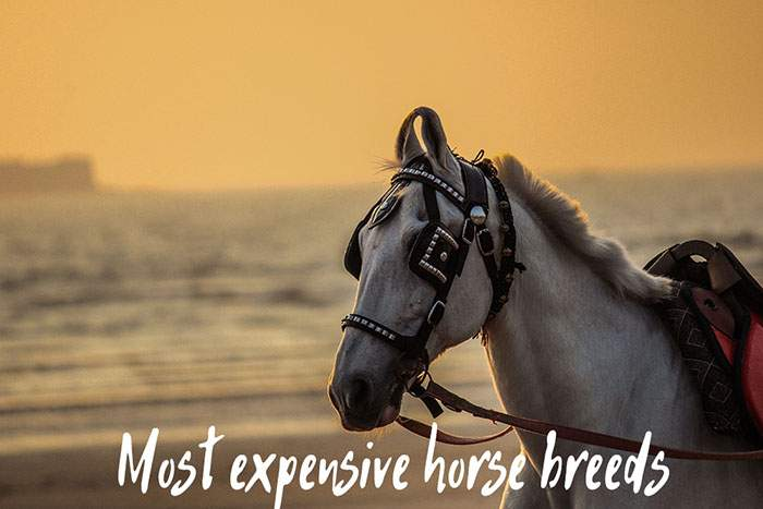 What Are the Most Expensive Horse Breeds?