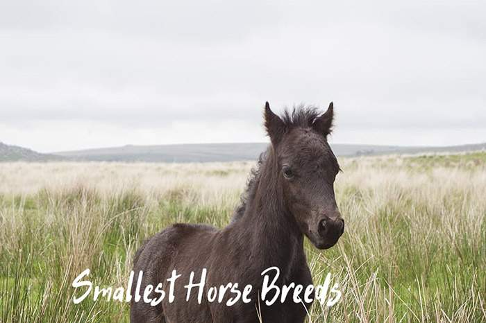 World's Smallest Horses and Smallest Horse Breeds