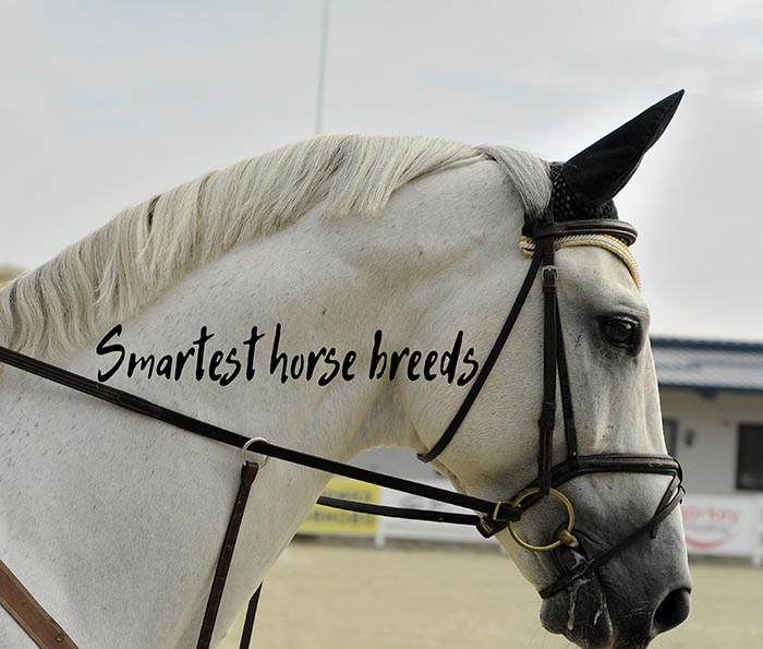 What Are the Smartest Horse Breeds in the World?