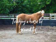 ground tie horse