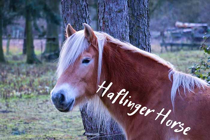 10 Things You Didn't Know About the Haflinger Horse