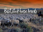 best stock horse breeds