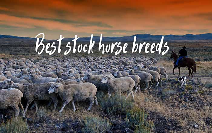 The Best Stock Horse Breeds for Your Ranch or Farm
