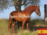 Andalusian Spanish Horse Breeds