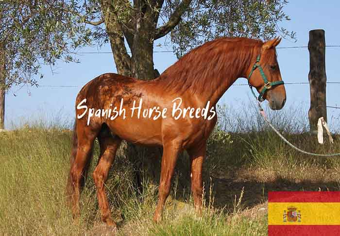 10 Spanish Horse Breeds That Will Make You Fall in Love