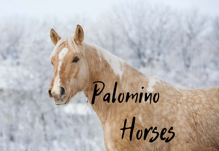 Everything You Need to Know About Palomino Horses (With Pictures)
