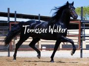 tennessee walking horse (1)