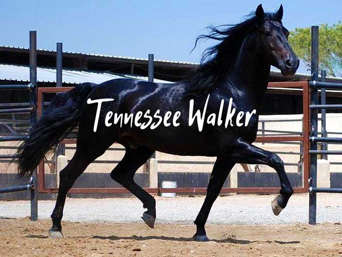 7 Unique Facts About the Tennessee Walking Horse
