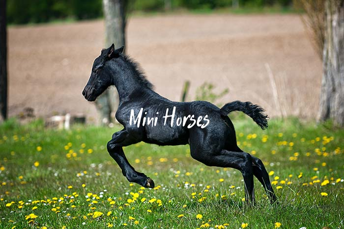 What You Need to Know Before Buying a Mini Horse