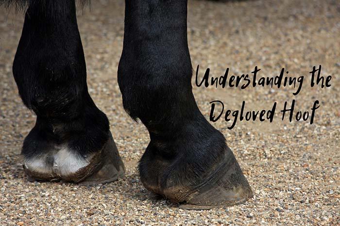 Understanding a Degloved Hoof – A Rare But Very Serious Injury