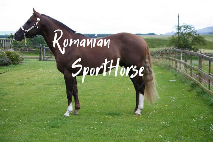 The Romanian Sporthorse – Characteristics & History